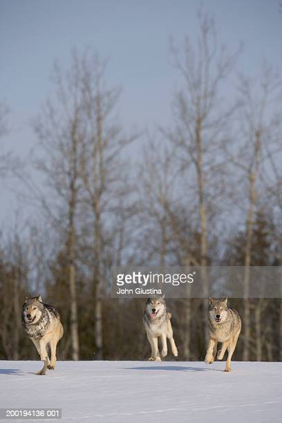 Wolf pack (Canis lupus) running on snow