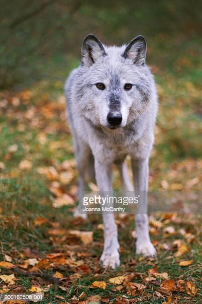 Wolf (Genus canis)