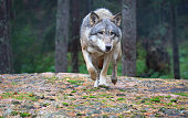A female wolf walking on a cliff