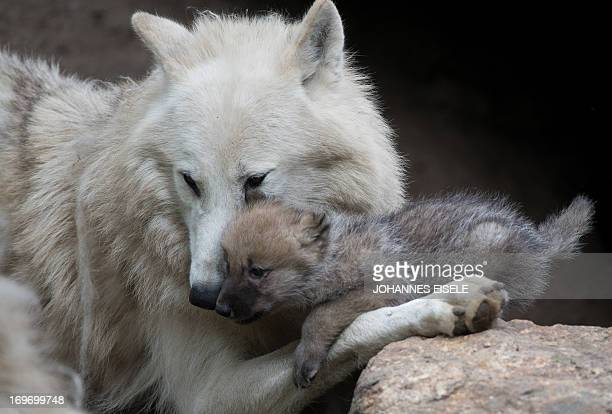 A wolf plays with a onemonthold puppy in its enclosure of Berlin's Zoo on May 31 2013 in Berlin AFP PHOTO / JOHANNES EISELE