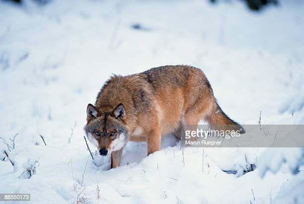 Wolf prowling in snow