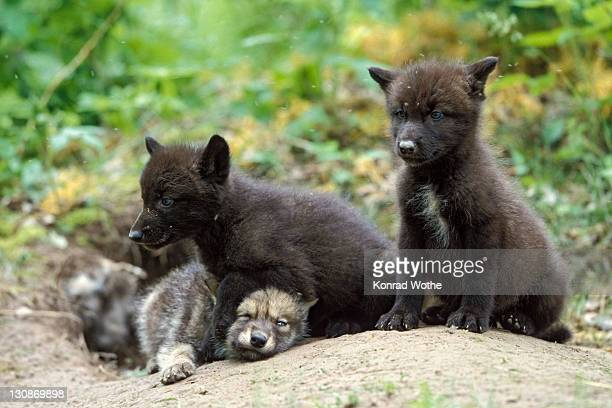 Wolf (Canis lupus) pups at den, North America