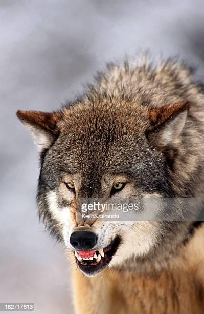 Wolf Rugir