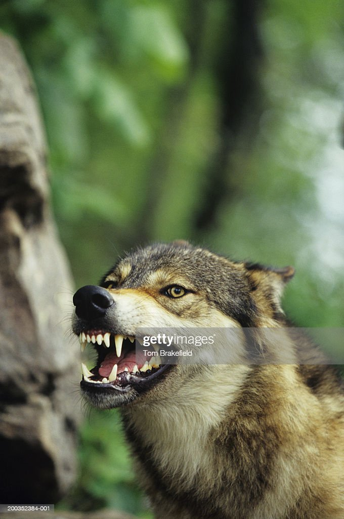 Wolf (Canis lupus) snarling, close-up, Canada : Stock Photo