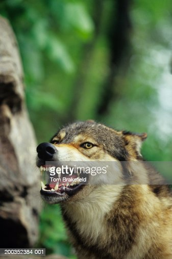 Wolf (Canis lupus) snarling, close-up, Canada