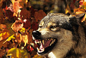 Wolf (Canis lupus) snarling, headshot, with Autumn color, Canada