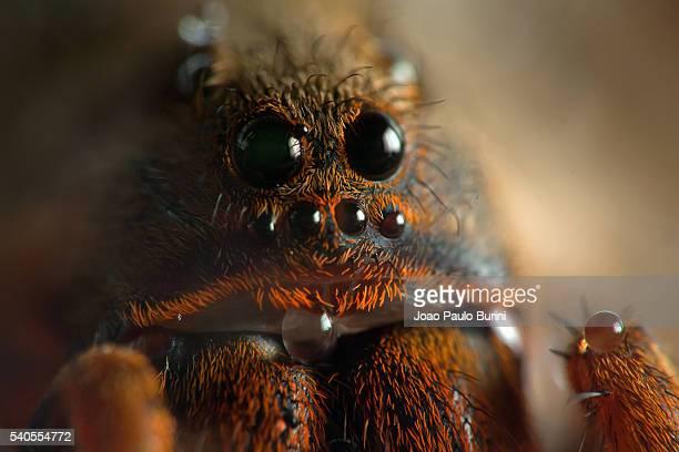 Wolf spider eyes (Lycosa erythrognatha)