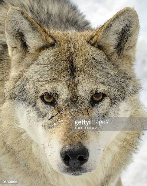 A wolf stands in the snow in their enclosure in the zoo in Worms western Germany on January 27 where temperatures are at minus ten degrees celsius...