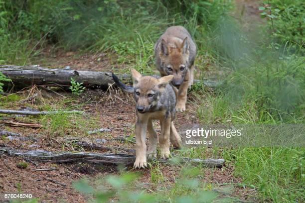 Wolf zwei Jungtiere hintereinander in Wald laufend hersehend