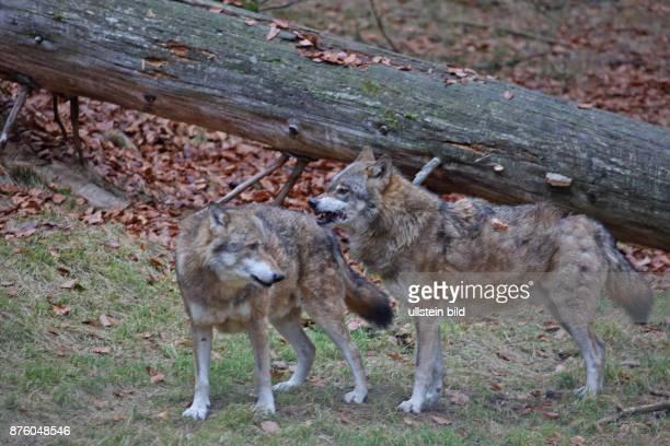 Wolf zwei Tiere in Wald mit herbstlich verfaerbten braunen Blaettern vor Baumstamm stehend links sehend