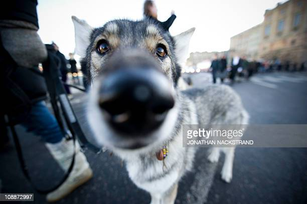 A wolfdog is seen during a demonstration against a recently sanctioned wolf hunt in central Stockholm on February 6 2011 Protestors marched with 20...