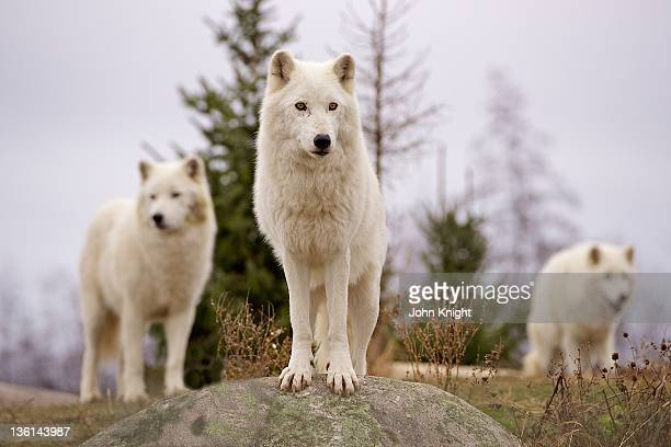 Wolves gathering at lookout