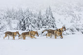 Four wolves in fresh snow in the mountains