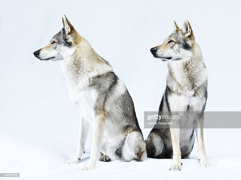 2 wolves, portrait : Stock Photo