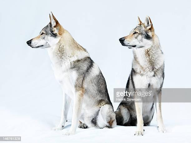 2 wolves, portrait