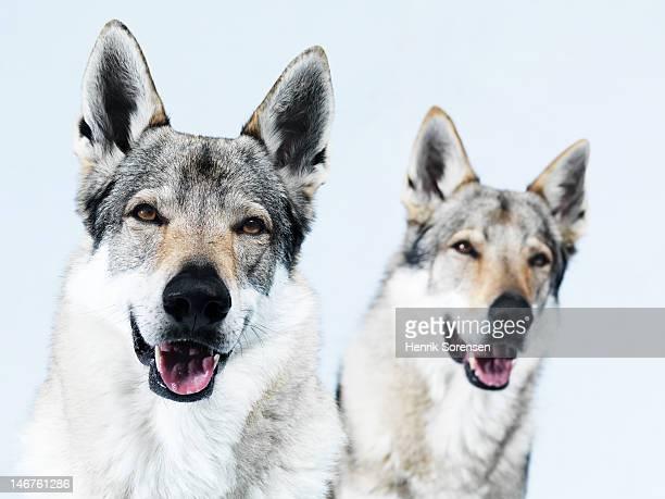 2 wolves, portraits