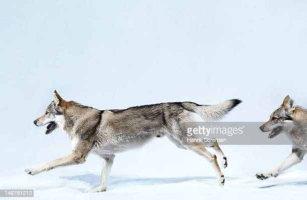 2 wolves running
