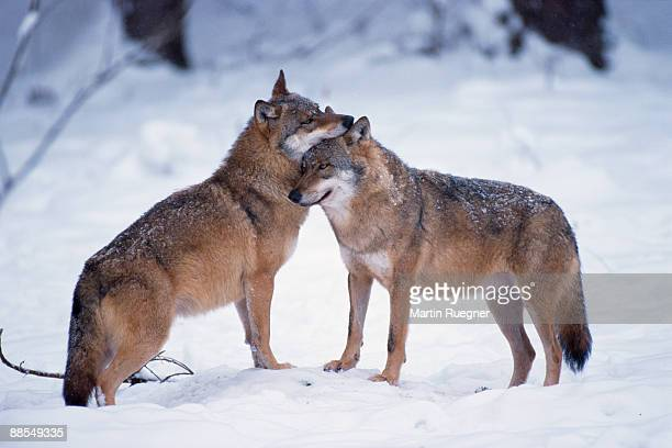 Wolves snuggling in winter