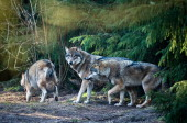 Wolves stroll in their enclosure at the wildlife park Schorfheide in Gross Schoenebeck eastern Germany on February 24 2014 The wildlife park hosts...