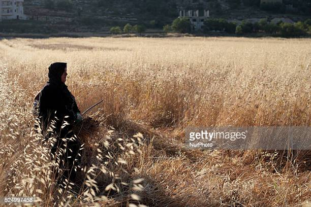 Woman and her son are harvesting wheat in their land in Sawyiah village South of Nablus city of the West Bank on May 31 2015 Nablus city northern of...