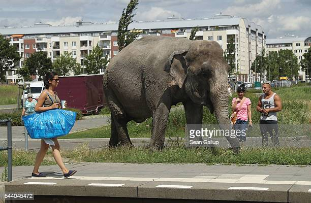 A woman carrying a shopping bag from IKEA walks past Maja a 40yearold elephant while Maja approached a tram station during a stroll through the...