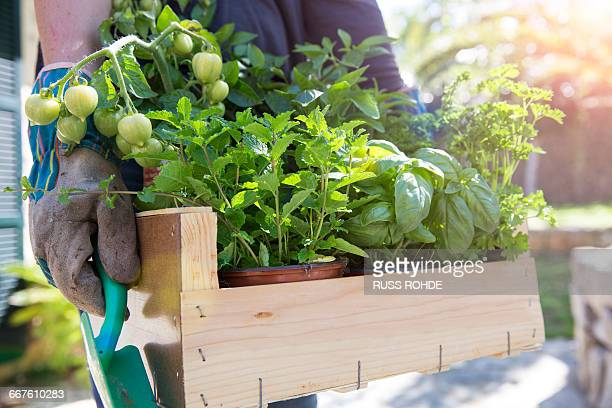 Woman carrying crate of herb plants in garden