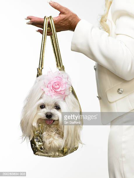 Woman carrying Maltese dog in purse