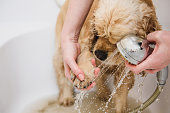 American cocker spaniel is taking a shower at home. Woman cleans a paw to a dog