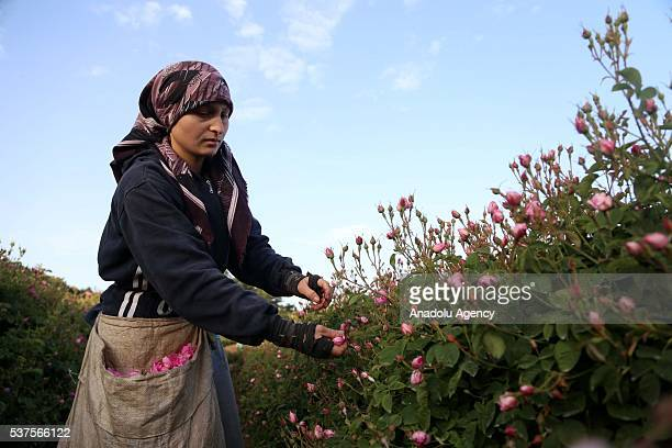 isparta women A turkish rose isparta we are all women an exclusively formulated turkish rose oil made from organically harvested rosa x damascena in the isparta province.