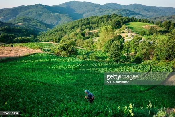 A woman collects tobacco leaves near the village of Kukuryak southeast of the Bulgarian capital Sofia on July 12 2017 Bulgaria was one of the largest...