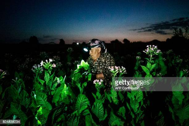 A woman collects tobacco leaves using flashlight in the early morning to escape the summer heat on July 12 2017 near the village of Karchovsko...