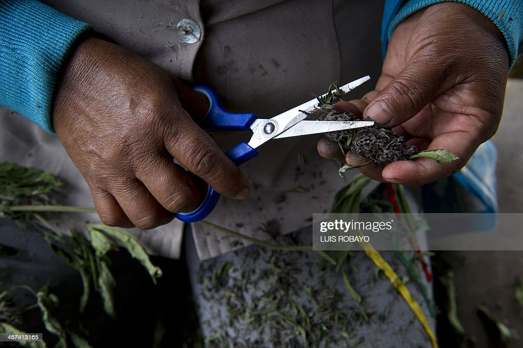 A woman cuts marijuana leaves in a rural area of Corinto, department of Cauca, Colombia, on December 9, 2013. The Colombian government and the FARC address the issue of 'illicit cultivation' as the third point of the peace talks that they are presently having in Havana. AFP PHOTO/Luis ROBAYO