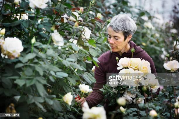 A woman cutting flowers in an organic commercial plant nursery flower garden.