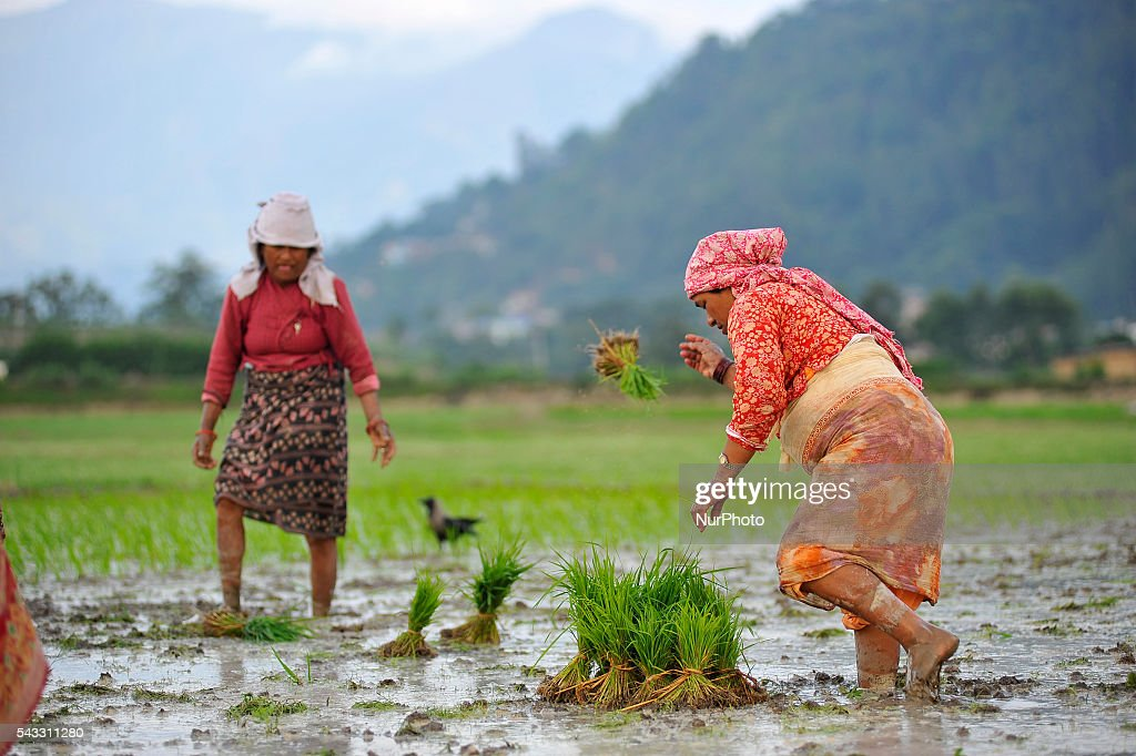 A Woman distributing Rice Saplings for Plantation at Khokana, Patan, Nepal on June 27, 2016. Due to the less rainfall on monsoon season, Most of the people of Khokana Plants Rice by pumping water from nearer Bagmati River, which cost additional of NRs 500 (US$ 5) per hour for pump charge.