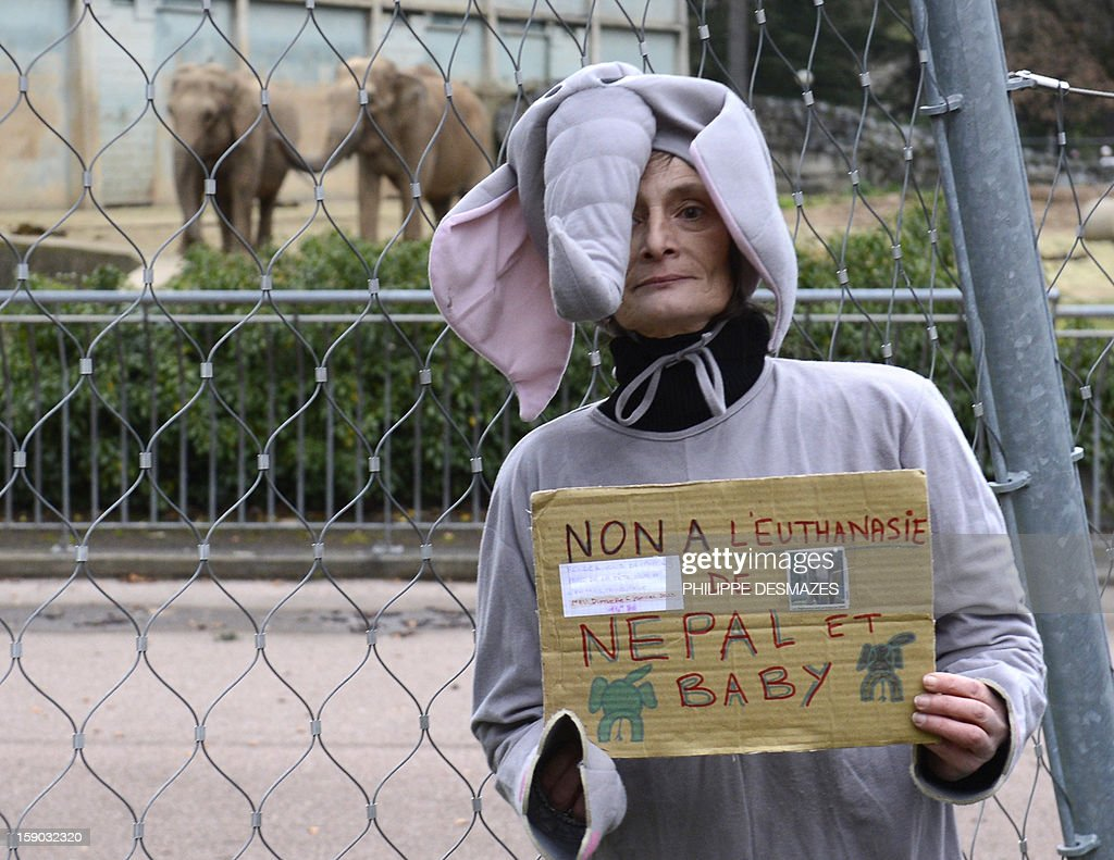 A woman dressed as an elephant holds a placard reading ' No to euthanasia of Baby and Nepal' as she demonstrates to save Baby and Nepal, two elephants suffering from tuberculosis in front of their enclosure on January 6, 2013 at the 'Parc de la Tête d'Or' Zoo in Lyon, central eastern France. The two ailing middle-aged elephants that French officials have wanted put down have been given a Christmas reprieve after an appeal to President Francois Hollande and an Internet campaign to save them.