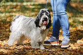 Unrecognizable woman during the walk through the forest with her Tibetan terrier dog, selective focus