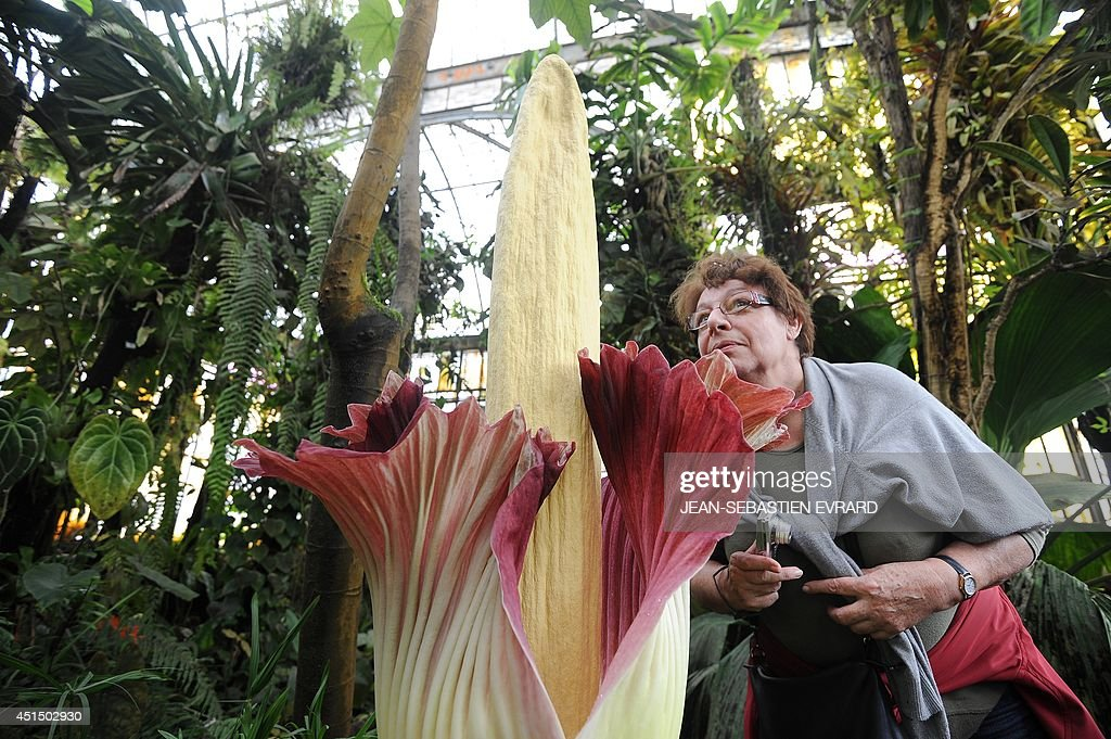 A woman examines a blooming titan arum plant at the Jardin des plantes botanical garden in Nantes, western France, on June 30, 2014. The titan arum (Amorphophallus titanum), also known as the corpse flower or stinky plant due to its odor, may remain in bloom for up to 24 to 48 hours before it begins to wilt. AFP PHOTO / JEAN-SEBASTIEN EVRARD