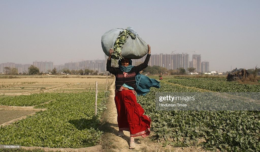 A woman farmer carries vegetables wrapped in a cloth from a vegetable farm on January 10, 2013 in Noida, India. These farmers took the portion of land for contract from the owner & pay them Rupees 4000 (73.30 USD) for One Bhiga (14400 square feet) per year. They grow different vegetables in their contracted fields & make their living by selling them to the distributors.