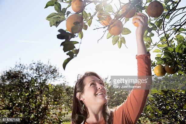 Woman farmer picking fruit in orange orchard.