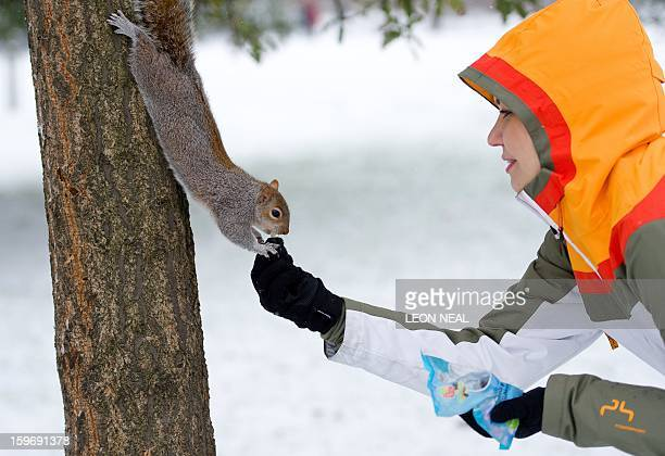 A woman feeds a squirrel in the snow covered St James' Park in central London on January 18 2013 Snow swept across Britain forcing airports to cancel...