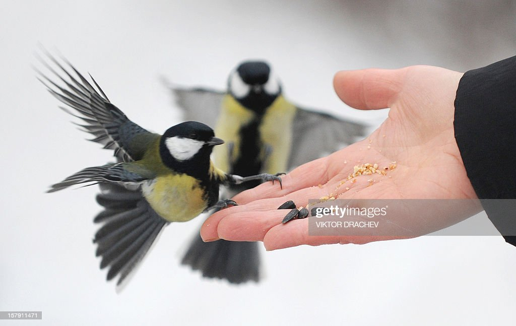 A woman feeds tomtits in a park in the Belarus capital Minsk, on December 7, 2012. AFP PHOTO / VIKTOR DRACHEV