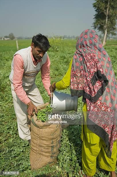 Woman filling green pea pods into a sack with a man, Farrukh Nagar, Gurgaon, Haryana, India