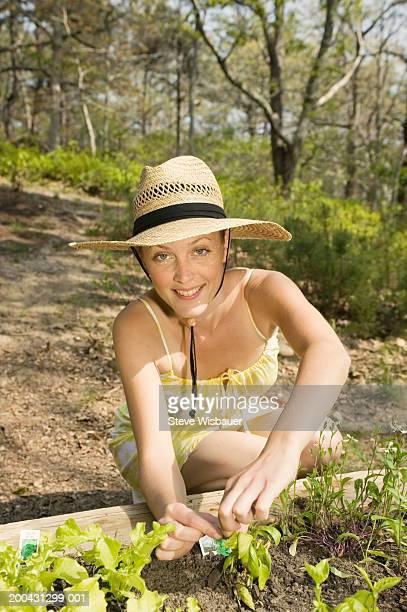 Woman gardening, picking basil from herb garden