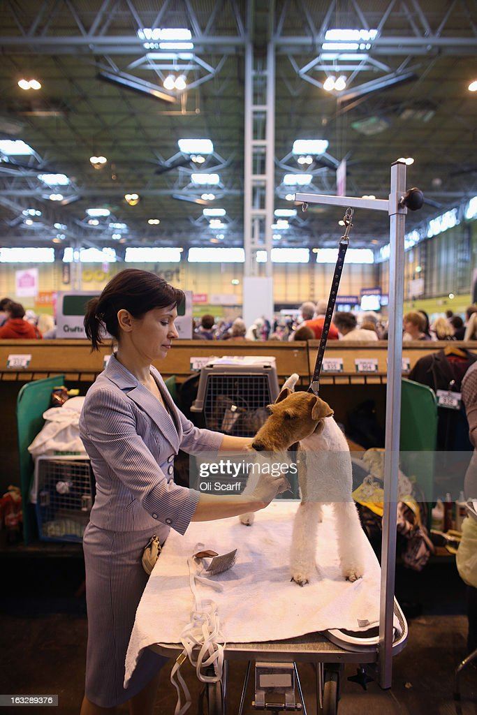 A woman grooms a wire fox terrier dog on the first day of Crufts dog show at the NEC on March 7, 2013 in Birmingham, England. The four-day show features over 25,000 dogs, with competitors travelling from 41 countries to take part. Crufts, which was first held in1891, sees thousands of dogs vie for the coveted title of 'Best in Show'.
