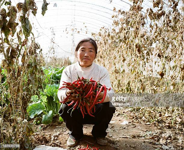 Woman growing chilli's in hothouse