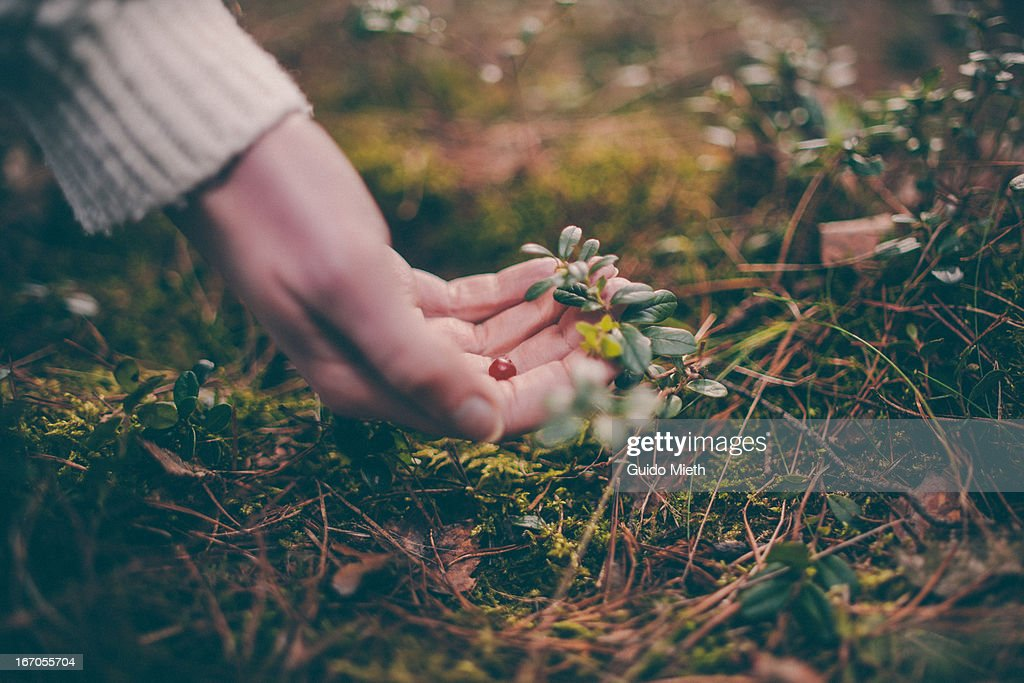 Woman hand with a berry in forest. : Stock Photo