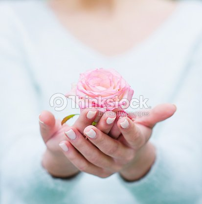 Woman hands holding rose flower : Stock Photo