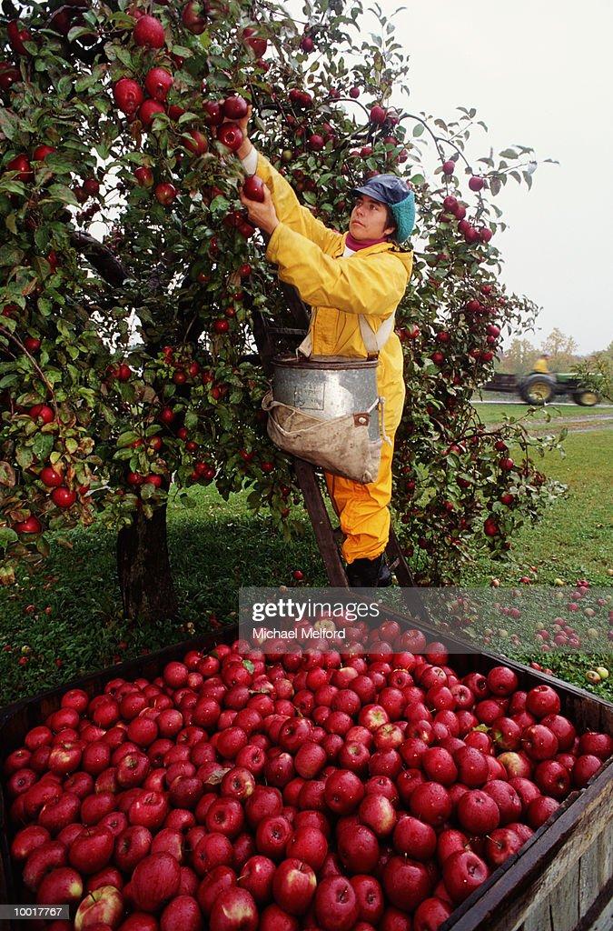 Woman harvesting apples : Stockfoto