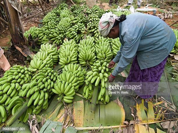 Woman harvesting bananas, outdoors