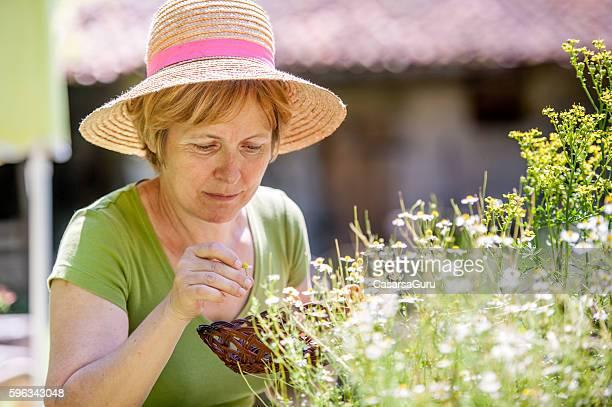Woman Harvesting Chamomile